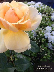 2moroDocs Rose